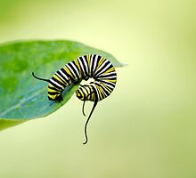 Balancing Nature Monarch Caterpillar Art by Christina Rollo
