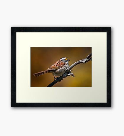White Throated Sparrow Framed Print