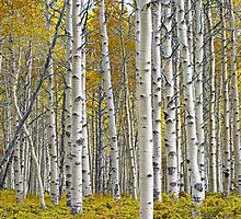 Birch Tree Grove with a touch of Yellow Color by Randall Nyhof