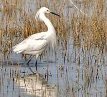 Snowy Egret in the Marsh by Monte Morton