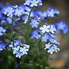 Forget-Me-Nots by Kelly Chiara