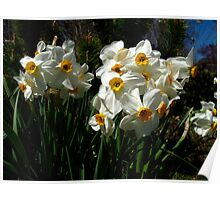 Dreamy Narcissus Poster