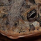 Southern Toad - Anaxyrus Terrestris by Edvin  Milkunic