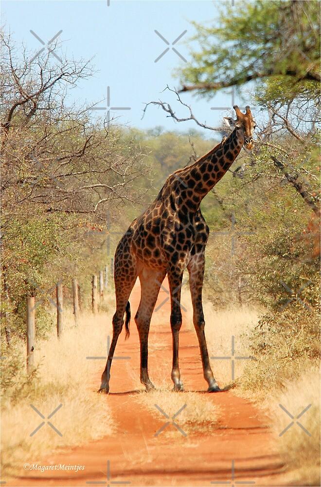 SORRY..., TAKE ANOTHER ROAD! - THE GIRAFFE – Giraffa Camelopardalis (KAMEELPERD) by Magriet Meintjes
