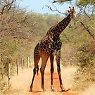 SORRY..., TAKE ANOTHER ROAD! - THE GIRAFFE – Giraffa Camelopardalis (KAMEELPERD) by Magriet Meintjes
