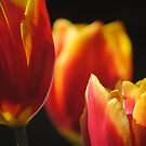 Tulips by Jonice