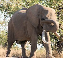 OUCH! GOT SOMETHING IN MY EYE - THE AFRICAN ELEPHANT – Loxodonta Africana by Magriet Meintjes