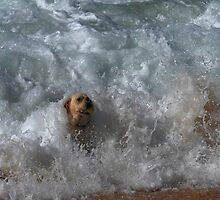 Labrador dog surfing for the ball by Gary Blackman
