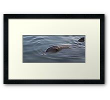 Bottlenose Dolphin - Monkey Mia - WA Framed Print