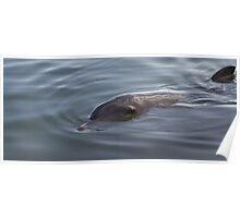 Bottlenose Dolphin - Monkey Mia - WA Poster