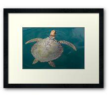 Green Turtle - Monkey Mia - WA Framed Print