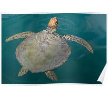 Green Turtle - Monkey Mia - WA Poster