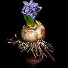 Hyacinth by BoB Davis