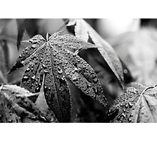 Overcast Acer Photographic Print