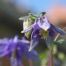 Purple Aquilegia by Pamela Jayne Smith