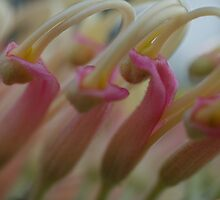 Grevillea in Pink by Liz Worth
