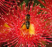 A Bee on a flowering Red Gum by Heather Samsa