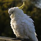 Australian Cockatoo by SharonD