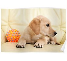 Labrador puppy lying on the sofa with his ball Poster