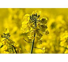 Very Yellow Photographic Print