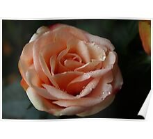 Salmon-Colored Rose Poster