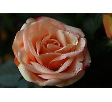 Salmon-Colored Rose Photographic Print