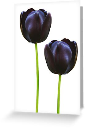 Black Tulips by Christine Lake