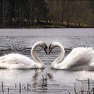 Swans on lake by stephen  jones