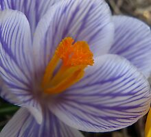 Precious crocus by MarianBendeth