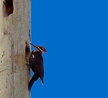 Pileated Wood Pecker by Richard Lee