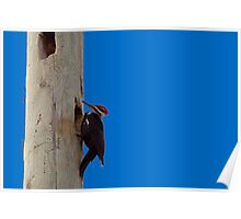 Pileated Wood Pecker Poster