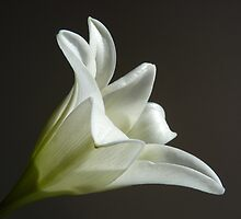 """Easter Lily""  The Flower of Lilium Longiflorum by Anita  Fletcher"