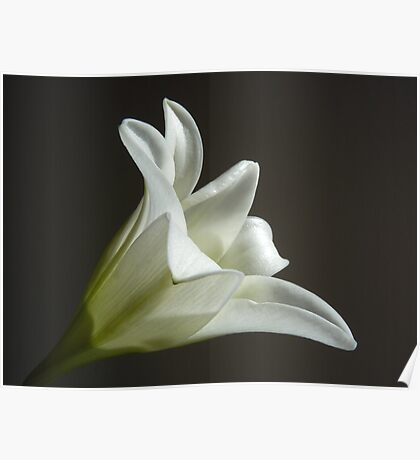 """""""Easter Lily""""  The Flower of Lilium Longiflorum Poster"""