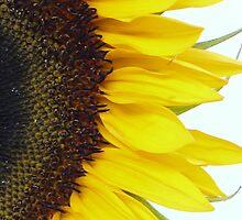 Sunflower by feistyfotos
