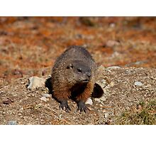 How Much Wood Could a Wood Chuck Chuck Photographic Print
