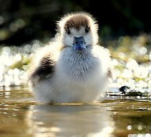 Egyptian Gosling by Danielle Connor
