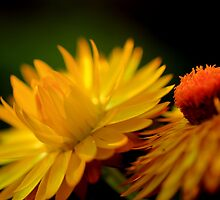 Yellow Straw Flowers in Light  by mhm710