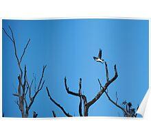 white-bellied sea eagle. bicheno, tasmania Poster