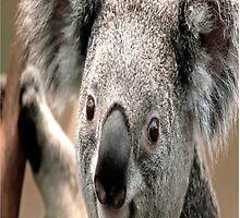 Koala Bear Case  by CodysPhotos