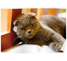 """Angry Scottish Fold Cat - """"Go on just try me"""" Poster"""