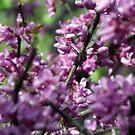 Flowering Red Bud Tree by Sandra Lee Woods