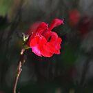Salvia sp. by Julie Sherlock
