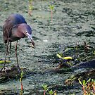 Blue Heron Feasting by Diego  Re