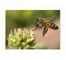 HONEY BEE IN FLIGHT Art Print