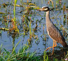 Cautious Yellow Crowned Night Heron by Agro Films