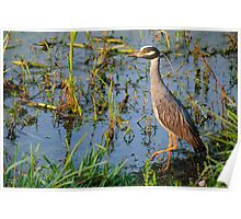Cautious Yellow Crowned Night Heron Poster
