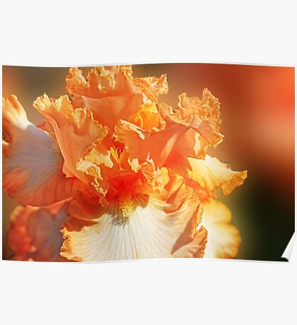 Orange and white Iris Poster