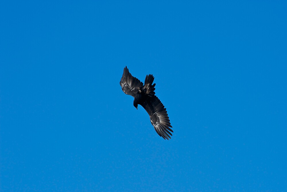 Wedge Tailed Eagle diving by GP1746