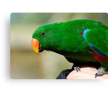 Eclectus Parrot - male Canvas Print