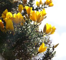 Gorse by Nik Watt